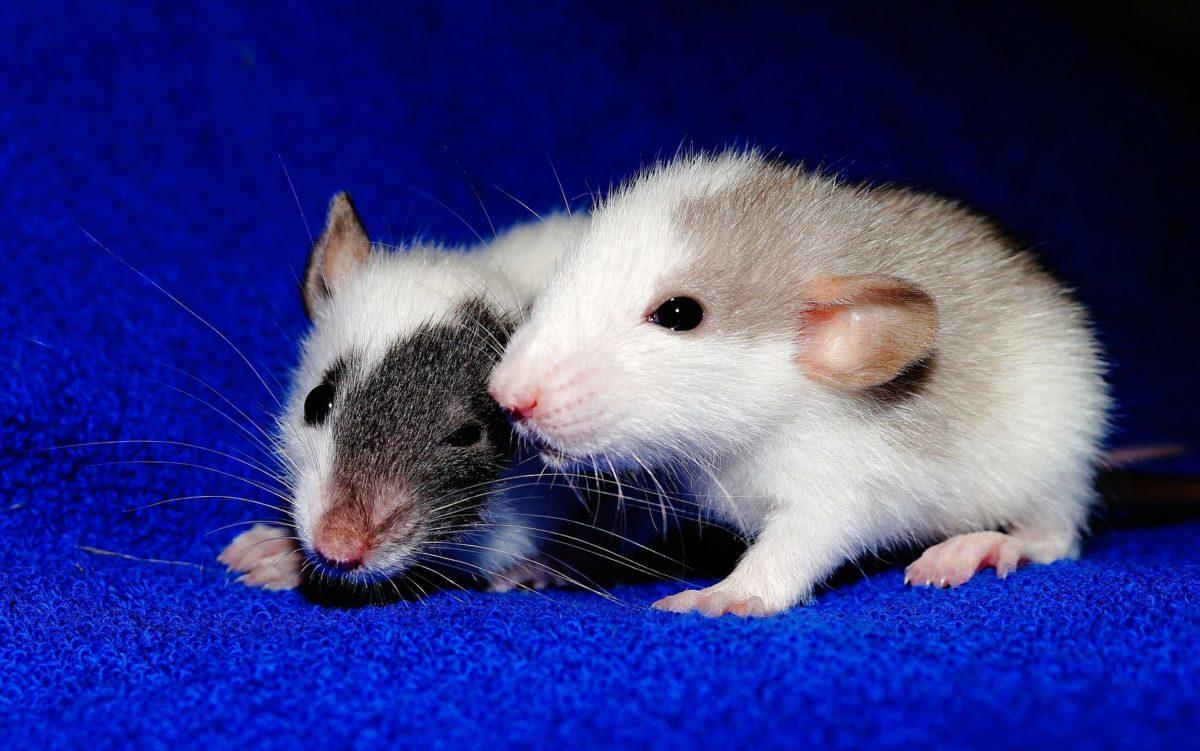 Rat-4-1200x751-1.jpg