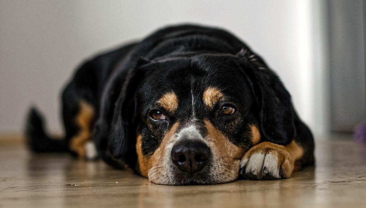 dogs-958216_1920-e1512663939159-1200x684-1.jpg
